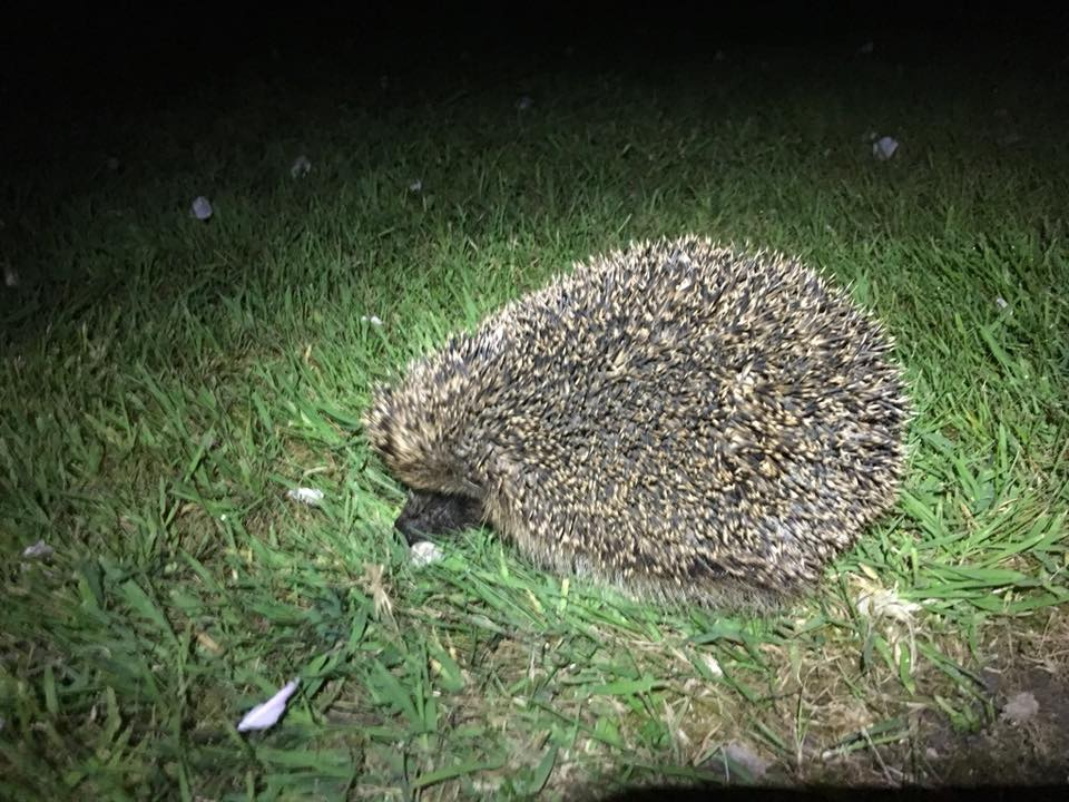 hedgehog at nights