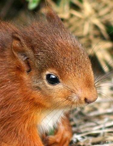 red squirrel face