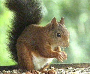 red squirrel full body