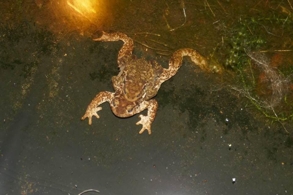 toads breeding in a pond