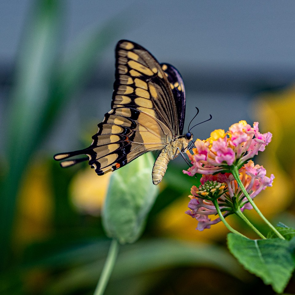 Swallowtail by Steve Lund