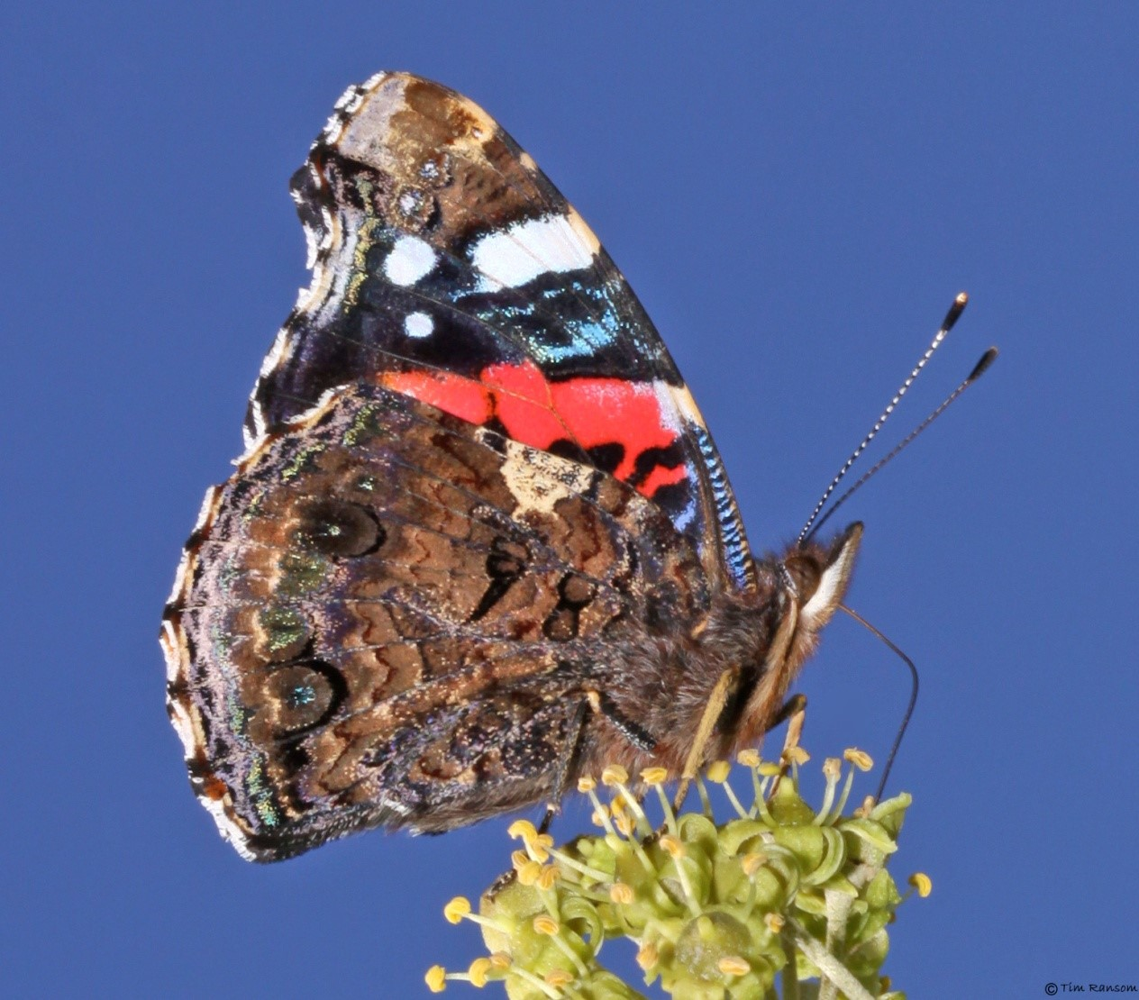 Red Admiral butterfly (Vanessa atalanta), photo Tim Ransom