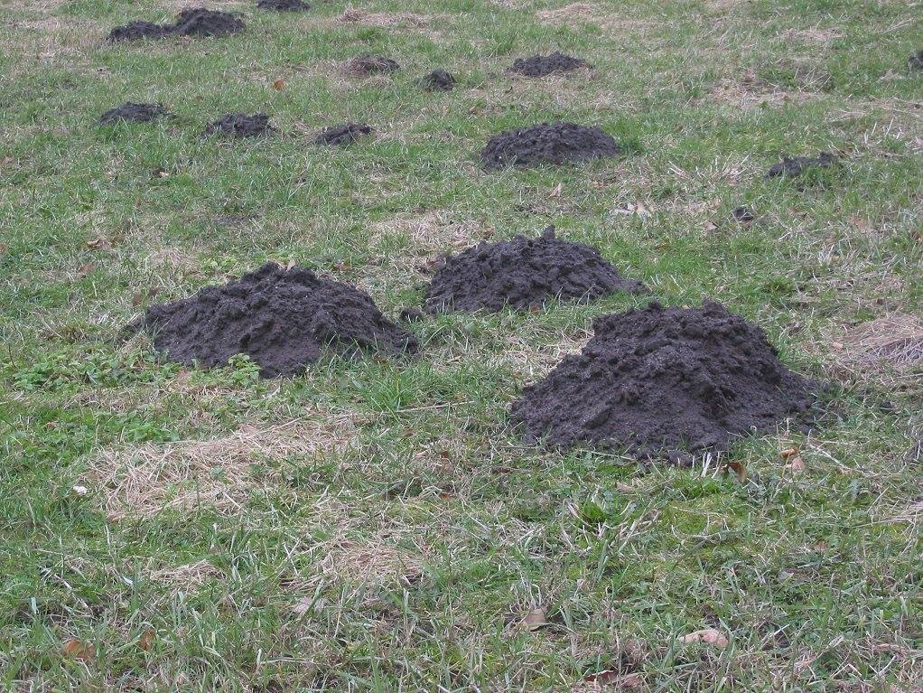Small mound of dirty created by a mole