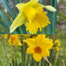 daffodil species jersey